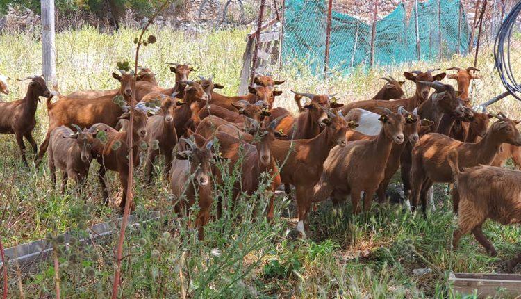 ΥπΑΑΤ: 30 εκατ. ευρώ για ενίσχυση αιγοπροβατοτρόφων